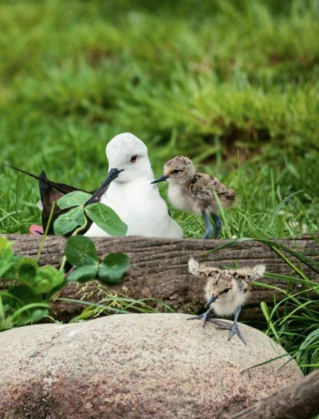 Wall Art - Photograph - Female Black-winged Stilt With Chicks by Brian Gadsby/science Photo Library