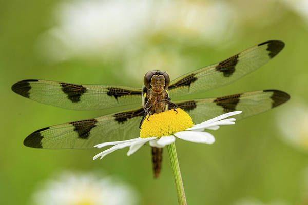 Blue Dragonfly Photograph - Female Blue Dasher Dragonfly On Daisy by Adam Jones