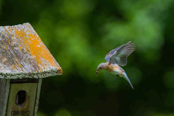Photograph - Female Bluebird Flying With Worm by Chris Hurst