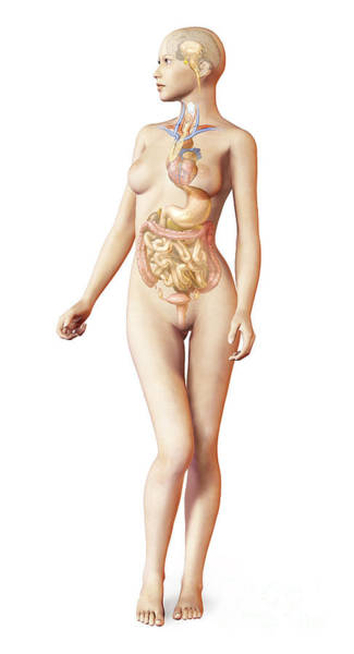 Bladder Digital Art - Female Body With Full Endocrine System by Leonello Calvetti