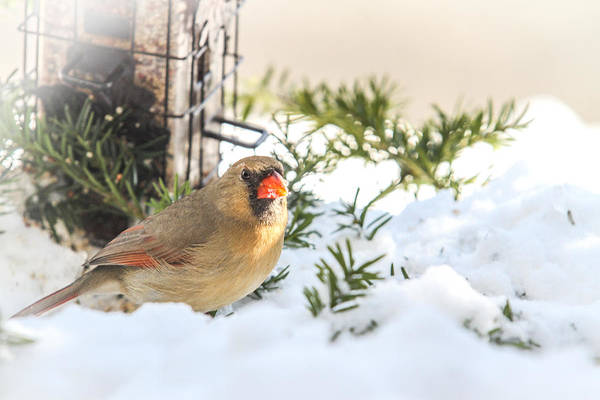 Photograph - Female Cardinal At The Feeder In Winter by Eleanor Abramson