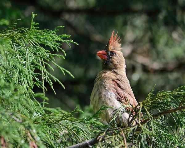 Photograph - Female Cardinal In A Pine Tree 2 by Jai Johnson