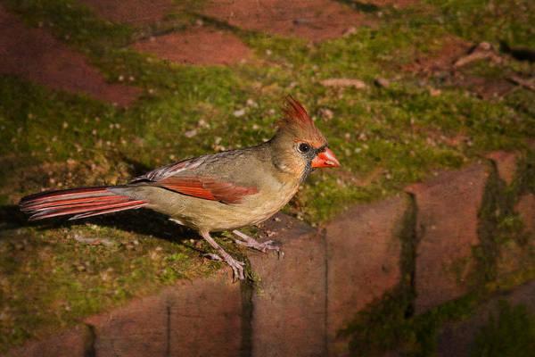 Photograph - Female Cardinal by Jemmy Archer