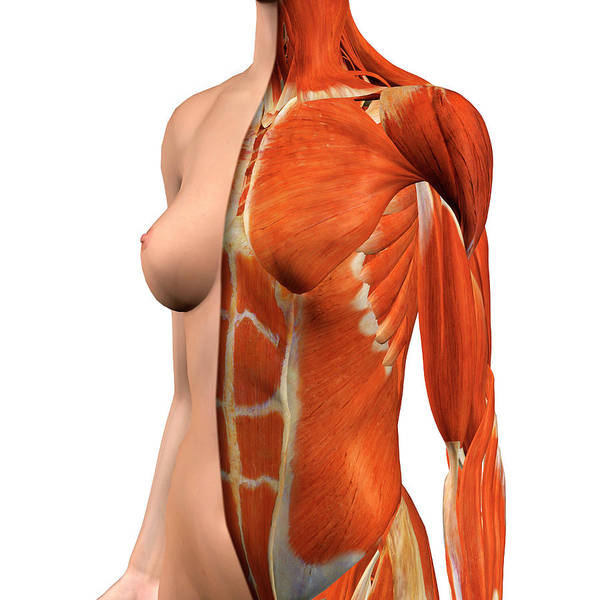 External Abdominal Oblique Photograph - Female Chest And Abdomen Muscles, Split by Hank Grebe