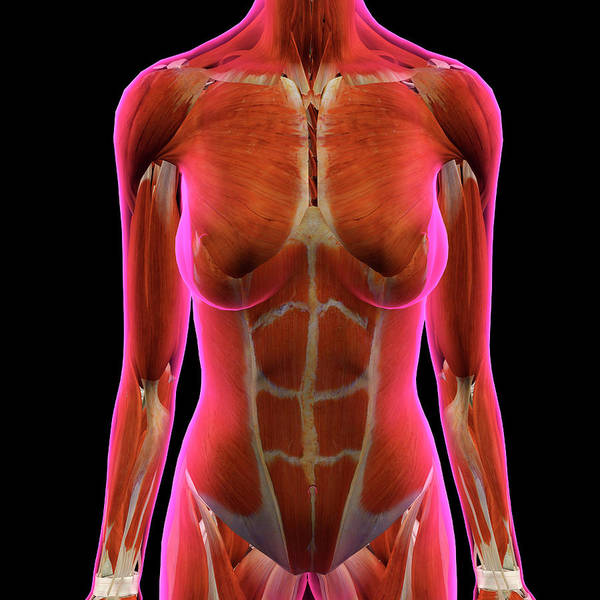 External Abdominal Oblique Photograph - Female Chest And Abdominal Muslces by Hank Grebe