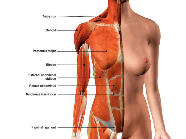 External Abdominal Oblique Photograph - Female Chest Muscles With Labels by Hank Grebe