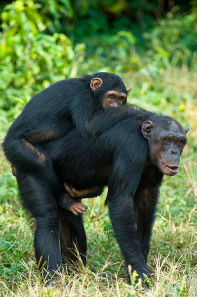 Back In The Day Photograph - Female Chimpanzee Pan Troglodytes by Panoramic Images