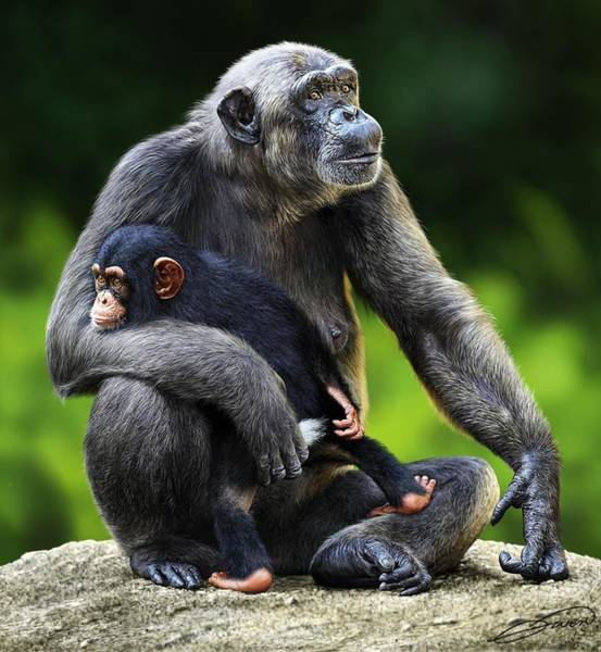 Female Chimpanzee With Young Art Print by Owen Bell