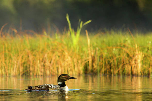 Loon Photograph - Female Common Loon With Newborn Chick by Chuck Haney
