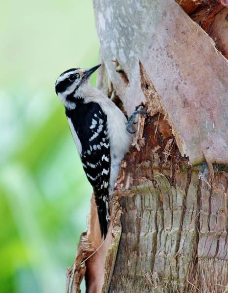 Photograph - Female Downy Woodpecker by Cynthia Guinn