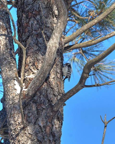 Photograph - Female Downy Woodpecker by Dimitry Papkov