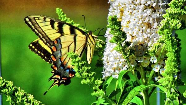 Photograph - Female Eastern Tiger Swallowtail   by Carol Montoya