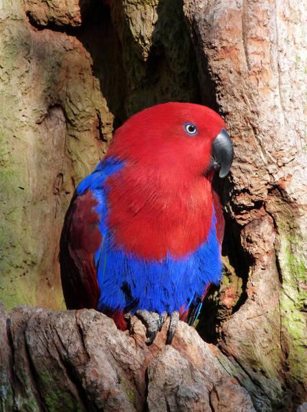 Eclectus Parrots Photograph - Female Eclectus Parrot Resting by Margaret Saheed