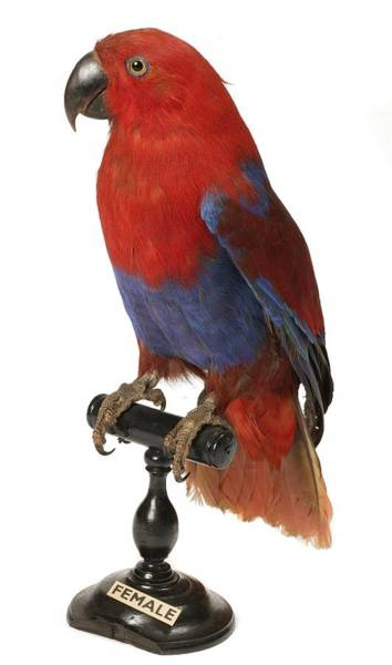 Eclectus Parrots Photograph - Female Eclectus Parrot by Science Photo Library