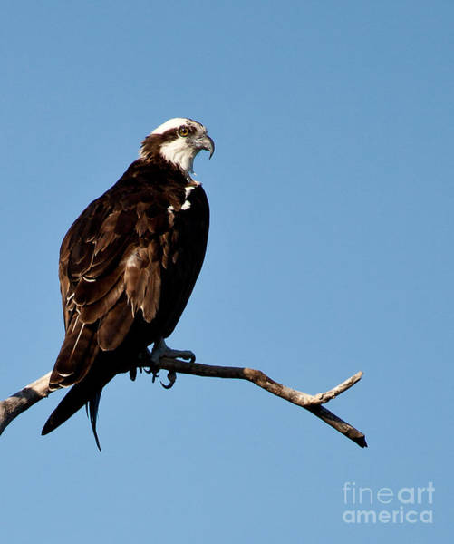 Photograph - Female Florida Osprey by Michelle Constantine