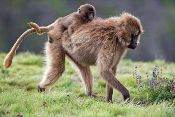 Behaviour Photograph - Female Gelada Baboon Carrying Her Infant by Tony Camacho