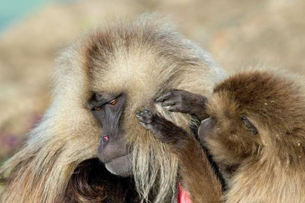 Baboons Photograph - Female Gelada Baboon Grooming A Male by Tony Camacho