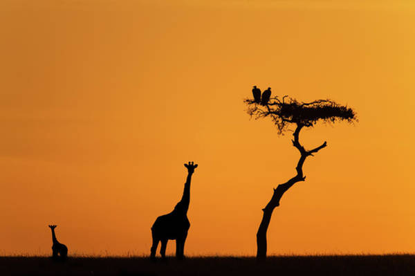 Savannah Photograph - Female Giraffe With Baby At Sunrise by Mike Hill