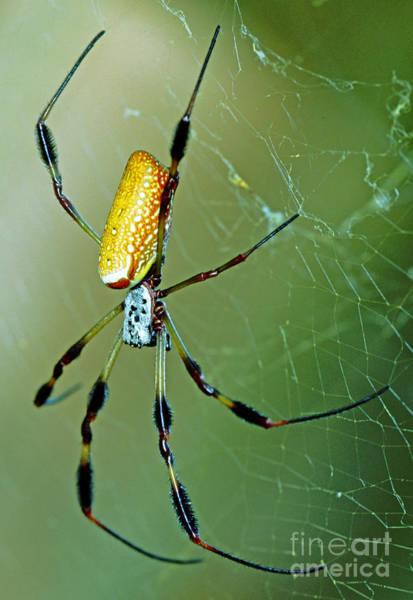 Golden Orb Spider Photograph - Female Golden Silk Spider Nephila by Millard H. Sharp
