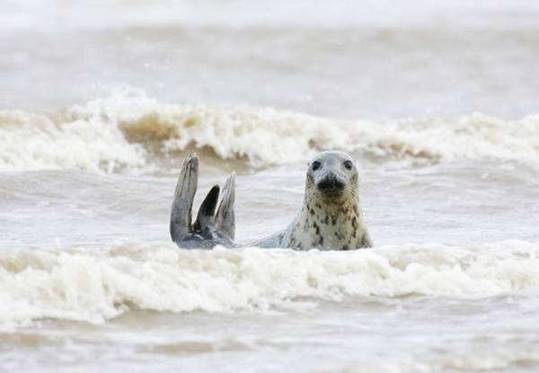 Wall Art - Photograph - Female Grey Seal In Surf by John Devries/science Photo Library