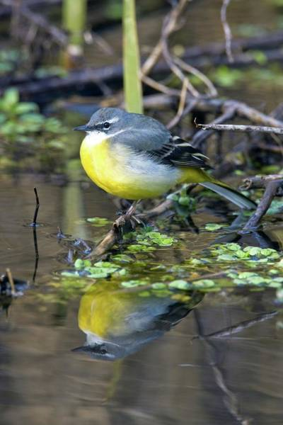 Wall Art - Photograph - Female Grey Wagtail by John Devries/science Photo Library