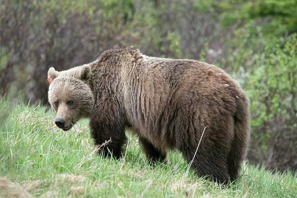 Canadian Fauna Photograph - Female Grizzly Bear by Dr P. Marazzi