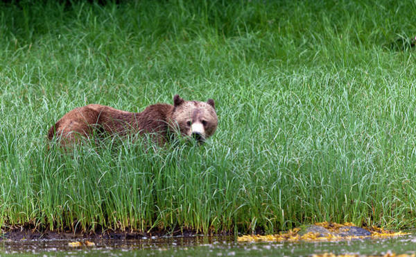 Grizzly Bears Photograph - Female Grizzly, Knight Inlet by Doug Mckinlay