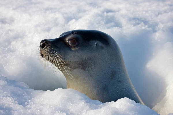 Animal Head Photograph - Female Harp Seal Poking Head Through by Keren Su