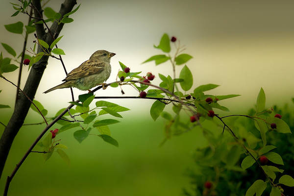 Photograph - Female House Sparrow In A Tree by  Onyonet  Photo Studios