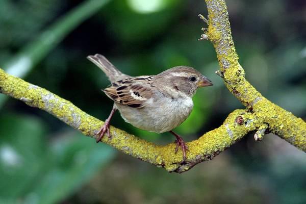House Sparrow Photograph - Female House Sparrow by Photostock-israel/science Photo Library