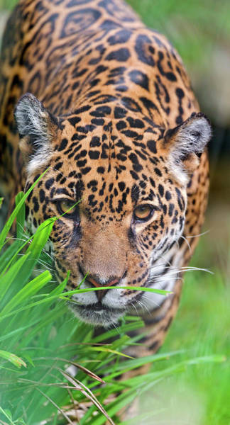 In The Grass Photograph - Female Jaguar by Picture By Tambako The Jaguar