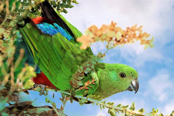 Female King Parrot Art Print