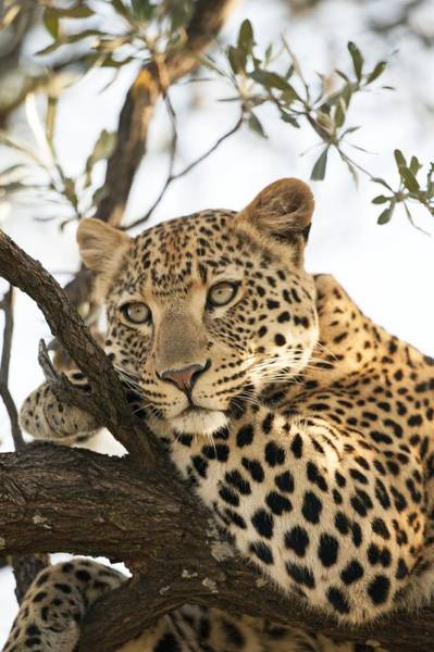 Panthera Pardus Photograph - Female Leopard Resting In A Tree by Science Photo Library