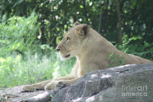 Canon Rebel Photograph - Female Lion On Guard by John Telfer