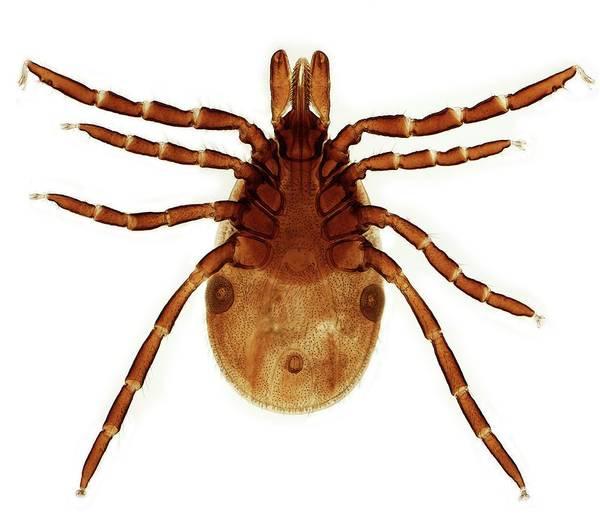 Arachnida Wall Art - Photograph - Female Lyme Disease Tick by Steve Gschmeissner/science Photo Library