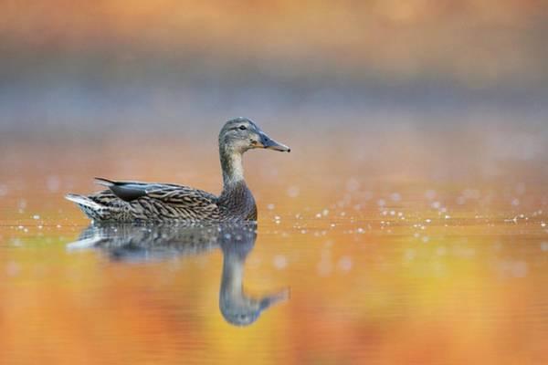Wall Art - Photograph - Female Mallard Duck by Manuel Presti/science Photo Library