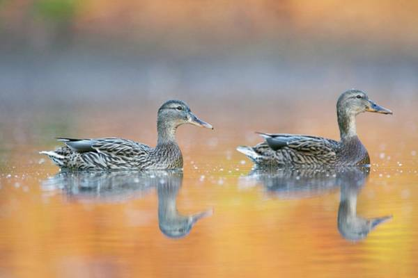 Anas Platyrhynchos Photograph - Female Mallard Ducks by Manuel Presti/science Photo Library