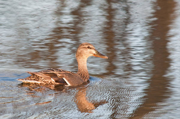 Photograph - Female Mallord Duck by Walt Sterneman