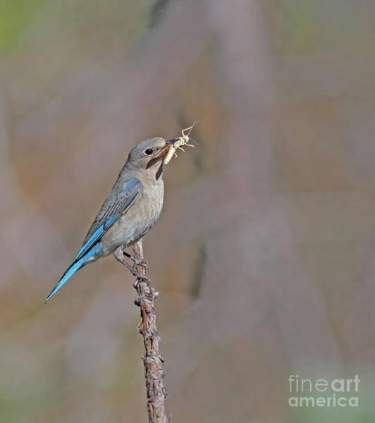 Bluebird Wall Art - Photograph - Female Mountain Bluebird by Gary Wing