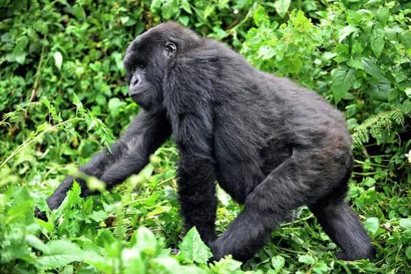 Rwanda Photograph - Female Mountain Gorilla by Dr P. Marazzi/science Photo Library