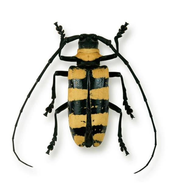 Flores Photograph - Female Nemophas Longhorn Beetle by Pascal Goetgheluck/science Photo Library