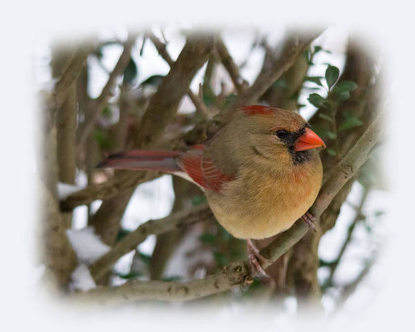Photograph - Female Northern Cardinal by Jemmy Archer