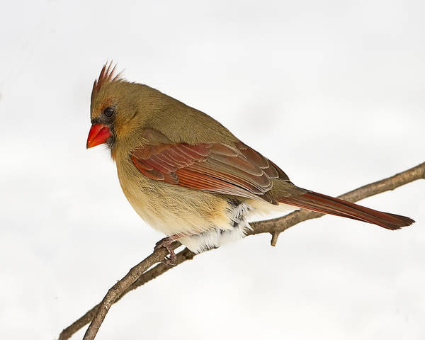 Photograph - Beautiful Female Northern Cardinal by John Vose