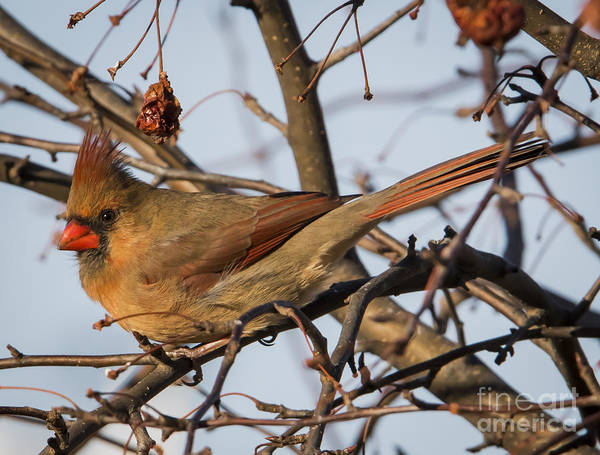 Photograph - Female Northern Cardinal  by Ricky L Jones