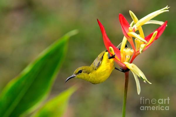 Photograph - Female Olive Backed Sunbird Clings To Heliconia Plant Flower Singapore by Imran Ahmed