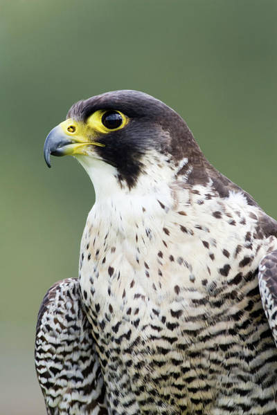 Living Things Photograph - Female Peregrine Falcon by John Devries/science Photo Library
