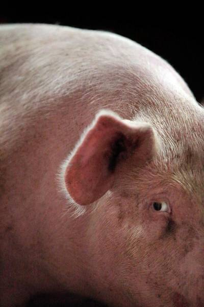 Sow Photograph - Female Pig by Mauro Fermariello