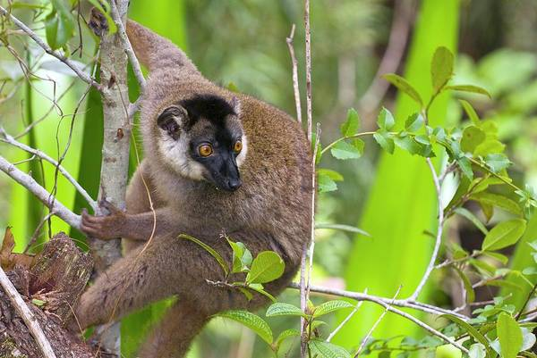 Lemur Photograph - Female Red Fronted Lemur by Philippe Psaila/science Photo Library