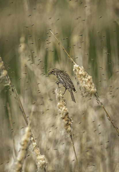 Midge Photograph - Female Red-winged Black Bird Feeding by Thomas Young