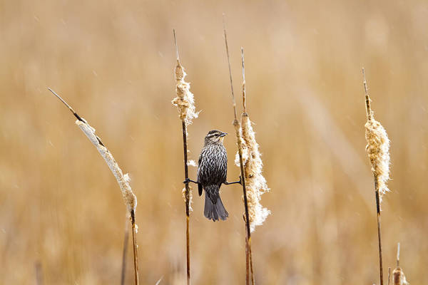 Horicon Marsh Photograph - Female Red-winged Blackbird Acrobatics by Ricky L Jones